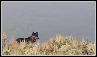 Lobo (Canis Lupus), Yellowstone N.P.