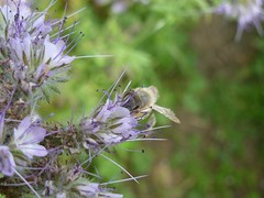 Bee on Phacelia, Bures, Essex (Incessant Flux) Tags: england green walking countryside suffolk walks britain country peaceful valley british essex eastanglia stour ronaldblythe adrianbell