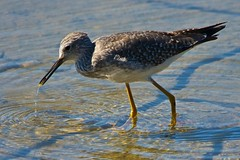 Lesser Yellowlegs (Alejandro Erickson) Tags: bird bc britishcolumbia lesser yellowlegs reifel shorebird