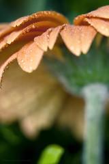 Umbrella (Bianca Lazarini) Tags: flowers orange flower macro green nature water fleur colors up canon garden eos rebel drops flora close natureza laranja flor gerbera jardim xti 400d gerberae