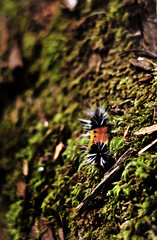Fuzzy Caterpillar (Casey Louise Photography) Tags: oregon moss nikon dof depthoffield caterpillar bark oregonwildlife fuzzycaterpillar oregonnature spikycaterpillar northwestnature caseylouisephotography