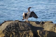 IMG_0409 (john blopus) Tags: naxos   hellas greece  island cyclades  beach  sea   water  duck