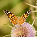 Distelfalter / Painted Lady (Vanessa cardui)