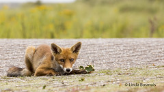 I see you (lindabosmuis) Tags: canon 6d 100400mm nature natuur awd netherlands animal dieren fox vos