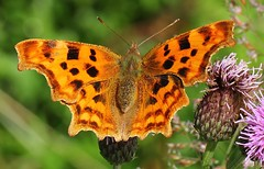Comma 110716 (3) (Richard Collier - Wildlife and Travel Photography) Tags: wildlife naturalhistory insects butterflies british macro comma