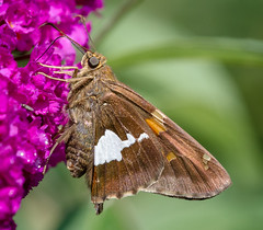 Silver Spot Skipper (tresed47) Tags: 2016 201607jul 20160731homemacro butterflies canon7d chestercounty content folder home insects pennsylvania peterscamera petersphotos places skipper skippersilverspot takenby us ngc