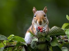 Squirrel (jt893x) Tags: 150600mm d500 jt893x nikon nikond500 rodent sigma sigma150600mmf563dgoshsms squirrel specanimal