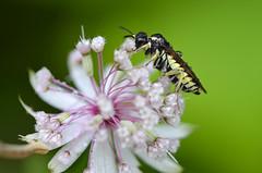 Astrantia major mit Wespe (unkel.unterwegs) Tags: blumen insekten kleinwalsertal pflanzen vorarlberg sterreich astrantia major sterndolde wasp flower insects austria
