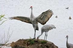 Sandhill Crane Family (robinlamb1) Tags: birds animals cranes sandhillcranes nature marsh reifelmigratorybirdsanctuary localresidents ducks outdoor greyday