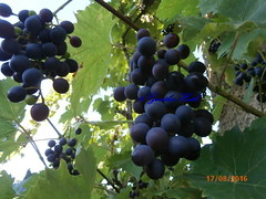 P8170017,100 grams of grapes contain 77 calories - calories, 20mg calcium, 0.7mg protein, 17,3g carbohydrate, 0.2mg iron (guenter.huth) Tags: weintrauben