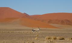 Oryx in the dunes of Sossusvlei Namibia (Doreen Bequary) Tags: sanddunes sossusvlei oryx antelope dunes sand namibia namib nikon africa d7000 red desert