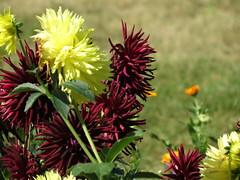 IMG_3800 (germancute) Tags: nature outdoor wildflower flower blume park beet wiese garden garten