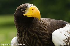 Steller's sea eagle (captive) (Wild About.......) Tags: 1d4 birds british duncombepark haliaeetuspelagicus ncbp nationalcentreforbirdsofprey nature naturephotography stellersseaeagle uk unitedkingdom wildlife yorkshire