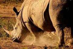 South Africa (ClaDae) Tags: africa afrique southafrica rhino wildlife safari hluhluweumfolozi hluhluwe umfolozi travel voyage
