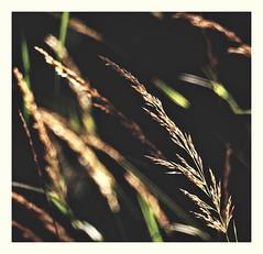 dark meadow (kurtwolf303) Tags: gras grass dark wiese meadow pflanzen plants outdoor nikoncoolpixs9900 detail nahaufnahme macro dunkel compactcamera unlimitedphotos nature natur topf25 250v10f topf50 500v20f