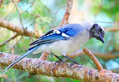 blue jay juvenile at Lake Meyer Park IA 854A8813 (lreis_naturalist) Tags: blue jay juvenile lake meyer park baltimore winneshiek county iowa larry reis