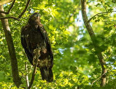 Eaglet.... (Kevin Povenz) Tags: 2016 june kevinpovenz westmichigan michigan ottawa ottawacounty ottawacountyparks grandravinesnorth baldeagle eaglets eaglet tree morning talon claw young male female bird birdsofprey canon7dmarkii sigma150500 wildlife nature outdoor outdoors outside green early sunlit sunlight bright