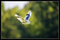 Juve Little Blue BIF... (DTT67) Tags: birds littleblueheron heron swamp nationalgeographic nature wildlife canon maryland npsp