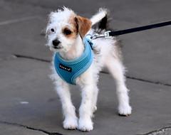 Baby steps. (pstone646) Tags: dog walking pet puppy animal kent canterbury streetphotography