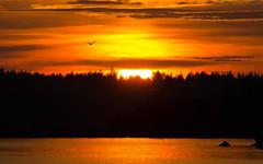 Sunset tern (Dreemeli) Tags: sternahirundo sun aurinko bird kalatiira landscape linnut luonto maisema nature tern view
