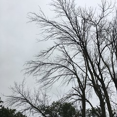 Giant Ash Tree Beyond Saving 03- Tree top limbs (Ellen5e) Tags: byellen5e example arborculture borer insect damage limbs treetop ash wood forestry landscape home maintenance
