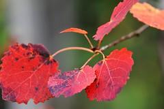asp i hststmmning (aggeji) Tags: fs160918 stamning fotosondag leaf outdoor aspen tree
