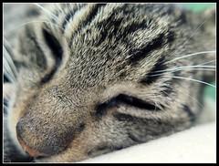 Carita de ensueo (MaPeV) Tags: morris bellolindoguapetn gatos cats chats kawaii felin neko gatti gattini gattoni tabby chat katze gato kitty tabbyspoted powershot canon g16
