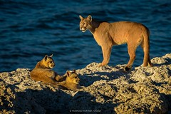 Puma with Cubs (Rodrigo Moraga Z.) Tags: torres chile torresdelpaine pumas patagonia photography wild cats cubs photo photographer