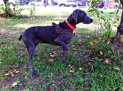 GPS app (VanaTulsi) Tags: vanatulsi weim weimaraner dog blueweim blueweimaraner