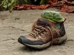 A use for old shoes (annkelliott) Tags: alberta canada seofcalgary thesaskatoonfarm shoe oldshoe container planter plant cactus arrangement display unusual fun outdoor fall autumn 21september2016 fz200 fz2004 annkelliott anneelliott