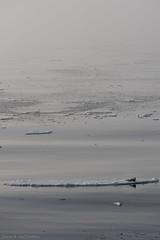 Harp seal on ice 2 (Elvar H) Tags: arcticocean harpseal helmerhansen phocagroenlandica siarctic grnlandssel seal sealsampling sel vuselur