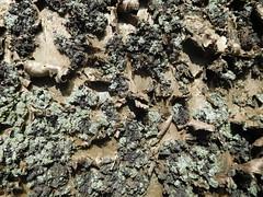 Interesting Bark on a Pine Tree (DannielleV) Tags: pine bark tree trunk brown green rough lichen algae