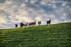 Here's Looking at Moo (rmrayner) Tags: cowsonthehill londonderry ireland rural pasture landscape sunset goldenhour grassland cattle moovingon skyandhill 365reject