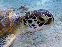 Green Sea Turtle (~~Gini~~) Tags: bonaire sealife fish turtle greenseaturtle endangeredspecies seaturtle underwater scuba diving water animal sea marinelife reptiles shell creatures