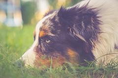 D<3xt<3r :) (Testshot) (Bokehschtig (ON/OFF)) Tags: aussie australianshepherd dog canine hund portrt portrait eye bluemerle bokeh dof bokehlicious sonya7 sonyalpha sonyalpha7 70mm f28 dephtoffield depthoffield fe2470f28gm gmaster gm