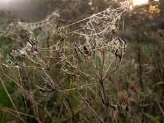 webby cow parsley (the incredible how (intermitten.t)) Tags: theranch mist fog spiderswebs webs droplets cowparsley 0160915 15862