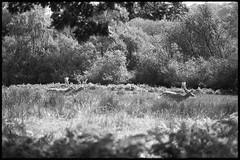 TP Deer (fawcetownsley) Tags: film technicalpan olympus blackandwhite rodinal 1to150 7min 25asa zuiko westoneuromaster om om1 fixer diy developer bw schwarzweiss