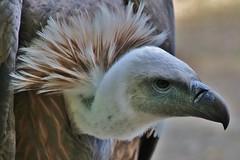 Vulture (Hugo von Schreck) Tags: geier vogel bird vulture hugovonschreck outdoor canoneos5dsr germany tamron28300mmf3563divcpzda010