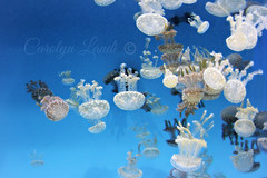 Jellies in White (socalgal_64) Tags: jellyfish jelly white fish cephlopods aquarium longbeach ca socal california summer water ocean sea sealife carolynlandi specanimal
