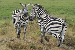 Zebras (paulinuk99999 - just no time :() Tags: paulinuk99999 wildlife niarobi national park sal70400g kenya