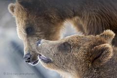 Brotherly Love (maryanne.pfitz) Tags: kodiakbear brownbear grizzlybear mammal animal zooanimal playing marshfield wisconsin wildwoodzoo mapkb6236 maryannepfitzinger