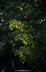 Mg egy kis nyr / Even a little summer (Ujhelyi Dvid) Tags: canon6d 70200f4isusm landscape nature tree leaf
