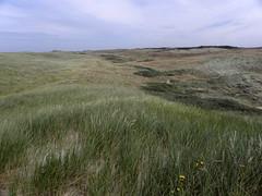 Elymo-Ammophiletum festucetosum (subassociatie met Duinzwenkgras van de Helm-associatie) (Bas Kers (NL)) Tags: netherlands europe july 2012 noordholland dekerf noordhollandsduinreservaat ammophiletea ammophilionarenariae