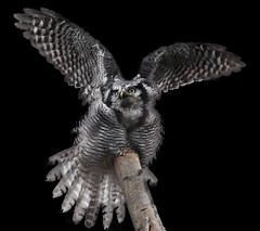 Northern Hawk Owl (Explored) (Stephen Bridson) Tags: wild bird animal closeup photography zoo photo nikon wildlife feathers owl wildanimal animalplanet birdofprey chesterzoo northernhawkowl birdphotos sigma70300mmdgmacro nikond3000 highqualityanimals