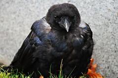 Raven's lazy morning (beyondhue) Tags: street ontario canada black bird eye downtown close sleep ottawa lawn feather sit wellington contact crow raven beyondhue