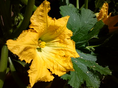 Zucchini flower (Antti Tassberg) Tags: plant flower yellow mobile closeup leaf dof bokeh cellphone vegetable veggie zucchini marrow courgette kasvi lehti vege kukka kurpitsa keskurpitsa kasvis pureview nokia808