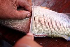 Arreglando el bocachico para frerlo (el pequeo ojo) Tags: venezuela selva jungle amazonas tepuy fotoarte autana alairelibre escuelafotoarte ariannaarteagaquintero destinosfotoarte piaroas
