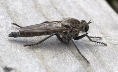 Uknown Fly (BeachcomberCo) Tags: family animals insects devon flies robberfly arthropods crustacea invertebrates diptera braunton