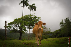 Clara the Cow | St. Lucia (Ferry Zievinger) Tags: animal cow cattle stlucia
