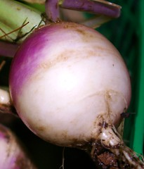 "Heirloom Purple Top Turnip • <a style=""font-size:0.8em;"" href=""http://www.flickr.com/photos/54958436@N05/7779421210/"" target=""_blank"">View on Flickr</a>"